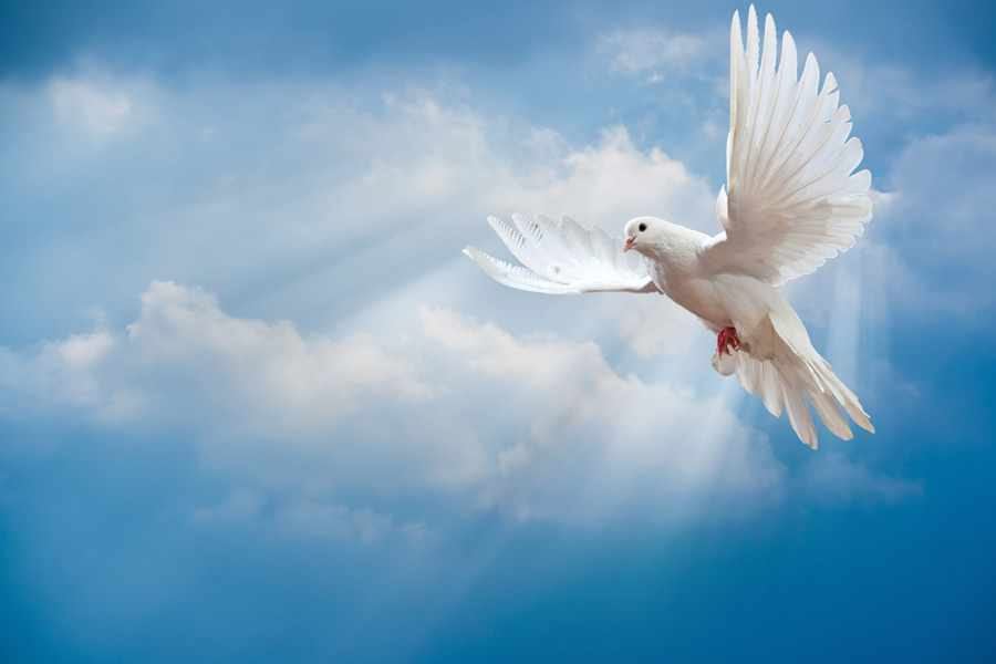 Символ любви: голубь