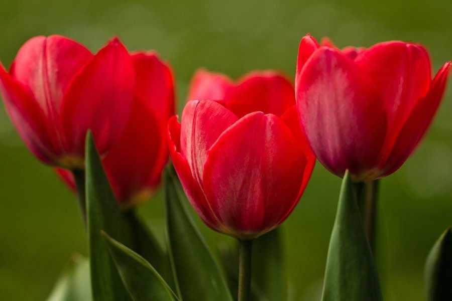 Символ любви: тюльпан