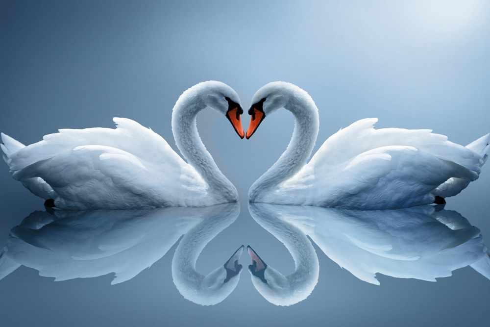 Лебеди — символ любви и верности
