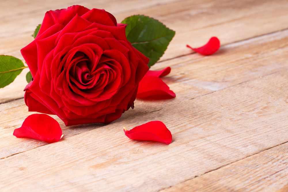 Алая роза — символ любви
